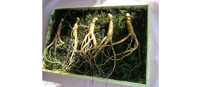 Les plantes adaptogènes et leurs bienfaits sur l'organisme